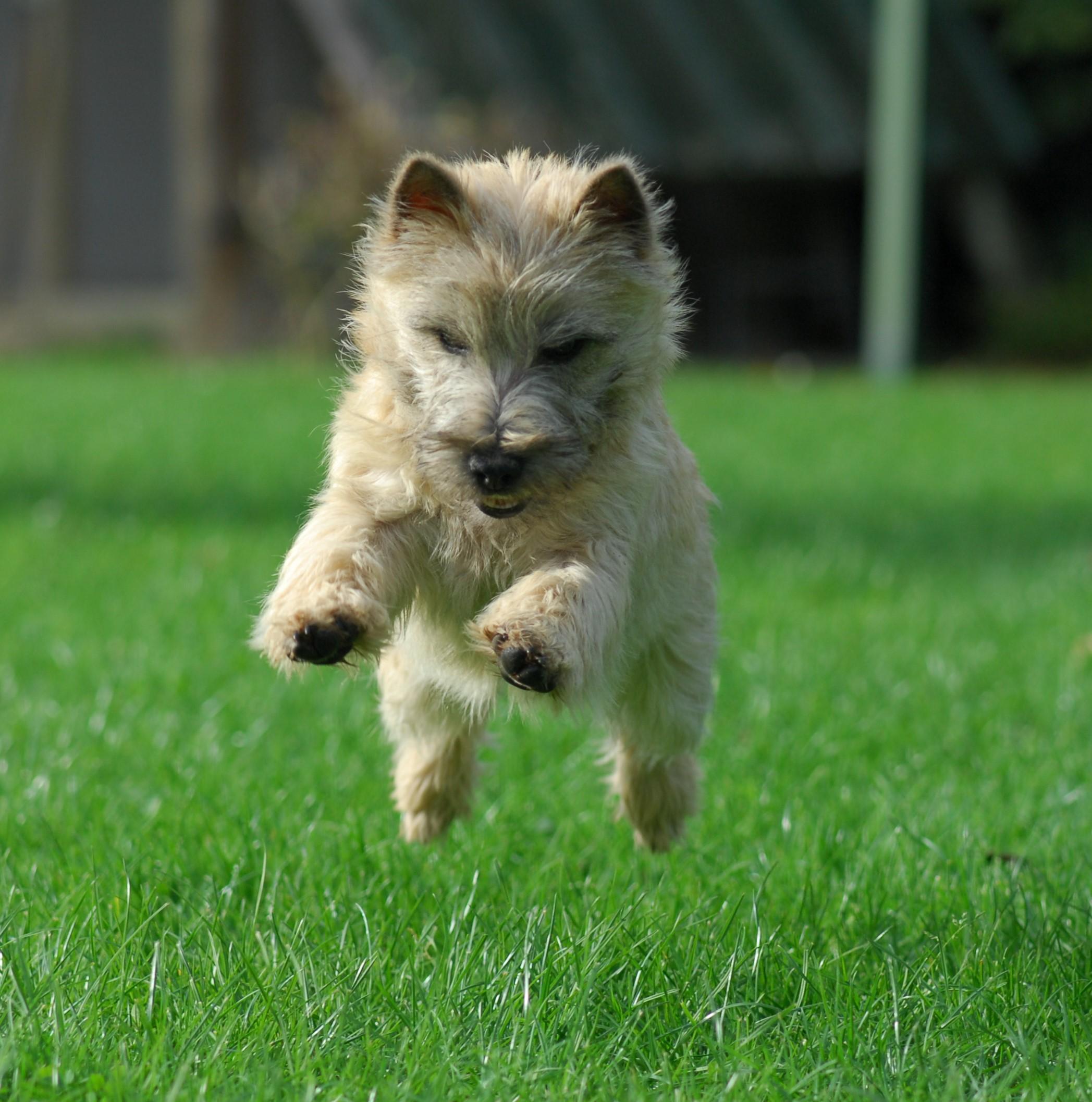 cairn-terrier-caractere-joueur