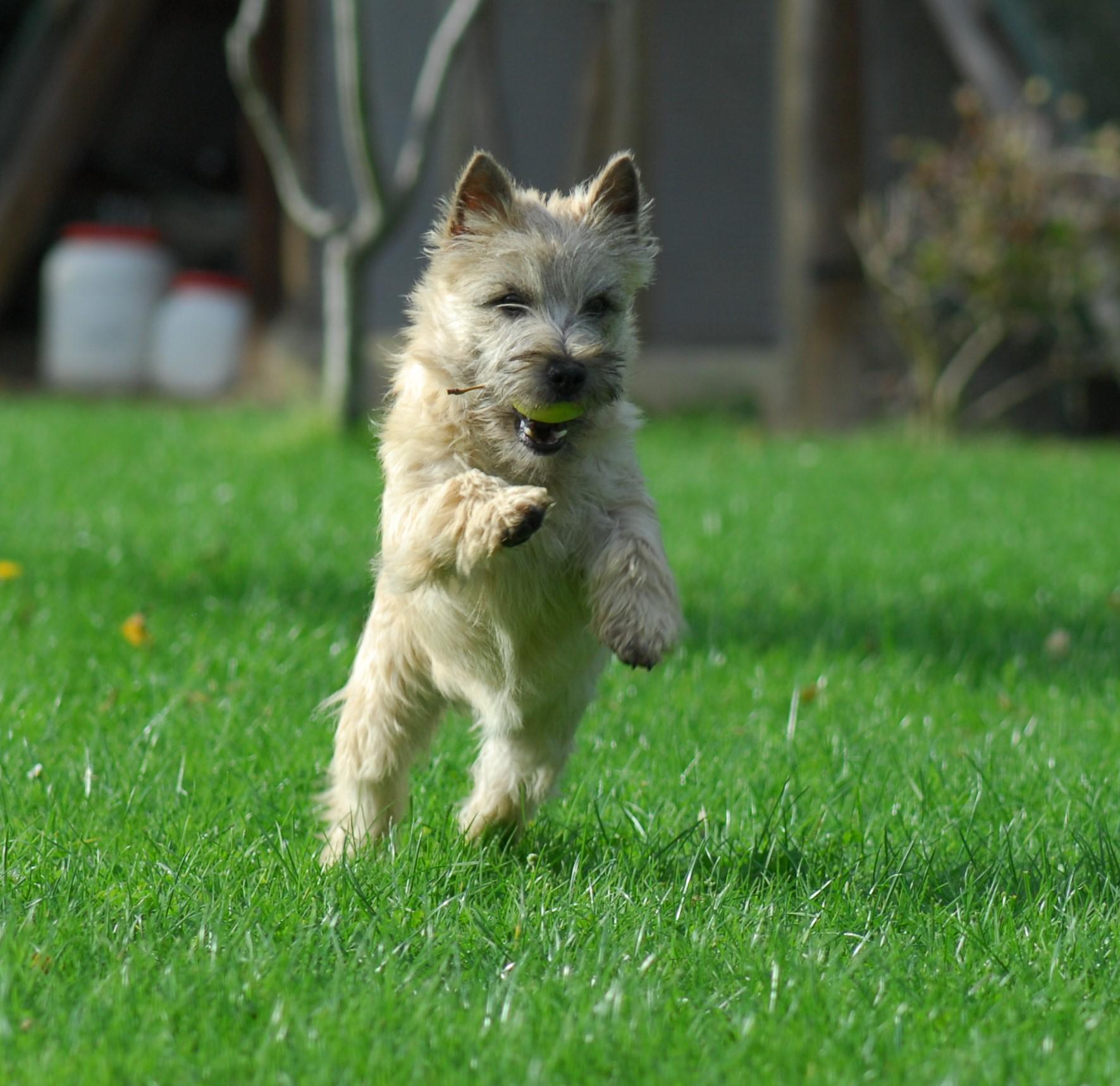 cairn-terrier-caractere