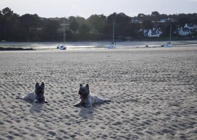 cairn terrier-2