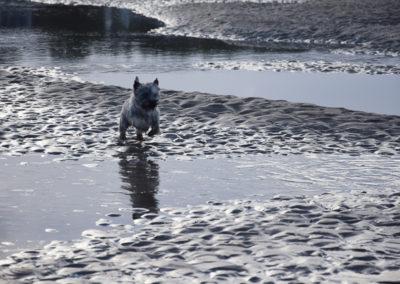 cairn terrier-5
