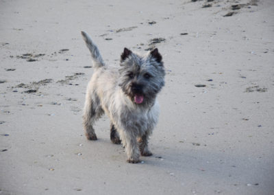cairn terrier-7