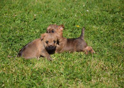 élevage cairn-terrier (11)
