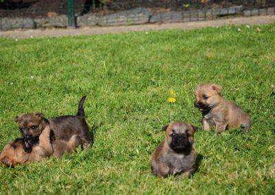 élevage cairn-terrier (15)