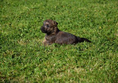 élevage cairn-terrier (16)