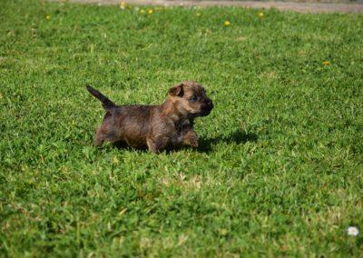 élevage cairn-terrier (17)