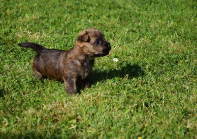 élevage cairn-terrier (18)