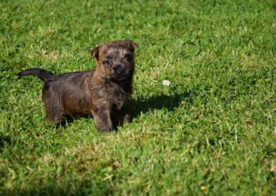 élevage cairn-terrier (19)