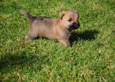 élevage cairn-terrier (20)