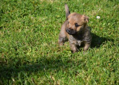 élevage cairn-terrier (21)