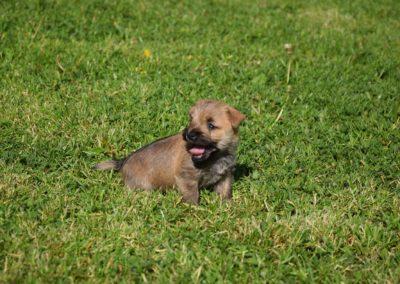 élevage cairn-terrier (22)