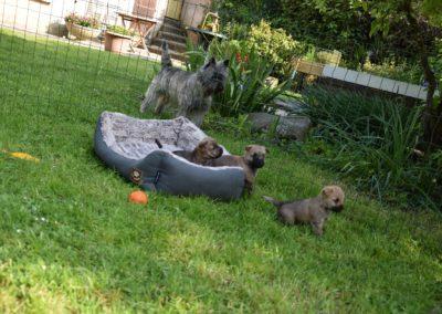 élevage cairn-terrier (3)