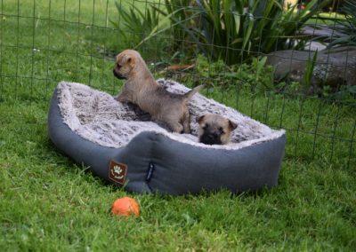 élevage cairn-terrier (4)