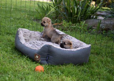 élevage cairn-terrier (5)