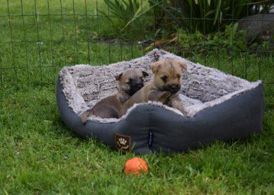 élevage cairn-terrier (6)