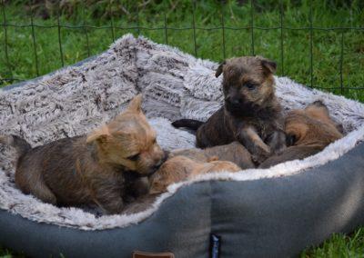 élevage cairn-terrier (7)