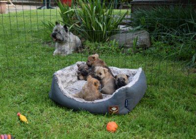 élevage cairn-terrier (8)