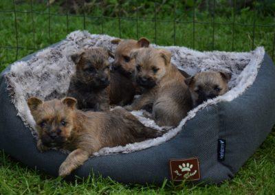 élevage cairn-terrier (9)