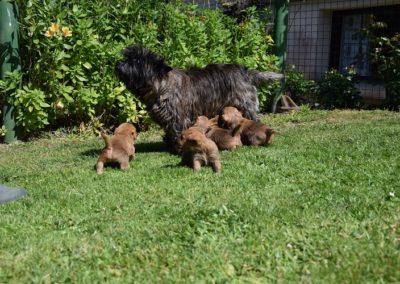 cairn terrier élevage (1)