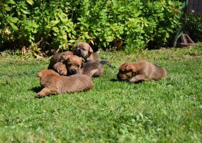 cairn terrier élevage (2)