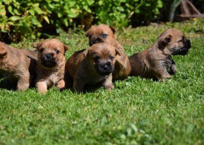 cairn terrier élevage (3)