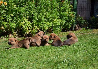 cairn terrier élevage (4)