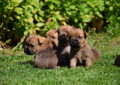 cairn terrier élevage (5)