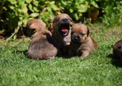 cairn terrier élevage (6)