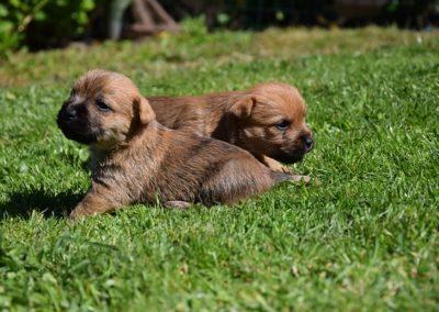 cairn terrier élevage (8)